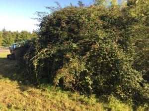 Bramble clearance on the highway - before