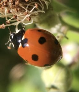 Ladybird on brambles