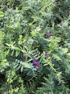 Cover Crop Vetch Flowering