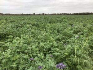 Flowering Cover Crop