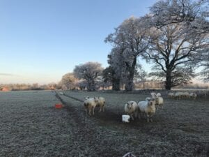 Sheep Grazing in the Winter